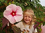 100 PC / bag Hibiskus Blumensamen Topf Riesen-Hibiskus Samen ausdauernde Huge 10-12 Zoll Heimgartenpflanze Blumensamen