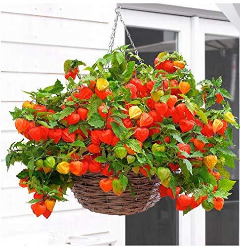 Tomasa Samenhaus- Seltene Lampionblumen Halloween Queen Zierblumen winterhart mehrjährig Bio-Samen Blumensamen Saatgut für Balkon, Garten