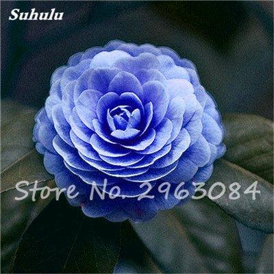 5 pièces rares Graines arc-en-Camellia fleurs, plantes en pot de bricolage, Lumière Parfumée Fleur intérieur, intérieur Bonsai planter des fleurs Semences 16