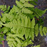 PACK OF 3 Dryopteris stewartii fern in a 9cm pot - Ferns for Shade - Plants for Shade