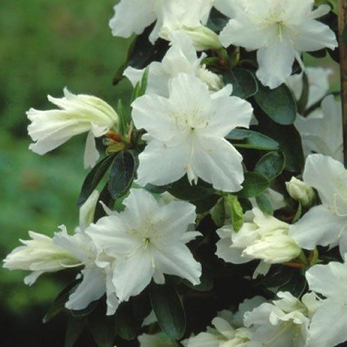 1-x-azalea-geisha-white-japanese-evergreen-shrub-hardy-plant-in-pot