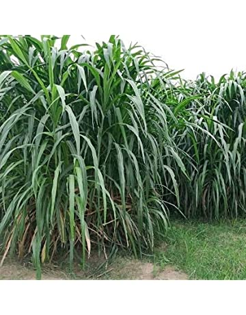 Grass Seeds Online Buy Grass Seeds In India Best Prices