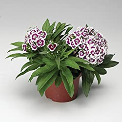 lichtnelke - Duftende Bartnelke (Dianthus x barbatus) Barbarini® F1 Purple Picotee