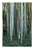Riesenbambus Moso - der größte winterharte Bambus - super Geschenkidee - 30 Samen