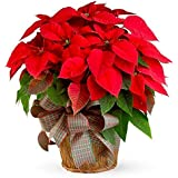 Vamsha Nature Care Live Red Poinsettia Flower Plant