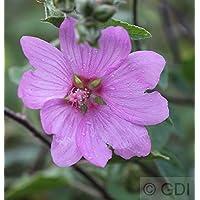 Buschmalve Candy Floss Lavatera olbia