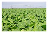 Premier Seeds Direct FK-F067-KBCL Spinach Medania Finest Seeds (Pack of 1000)