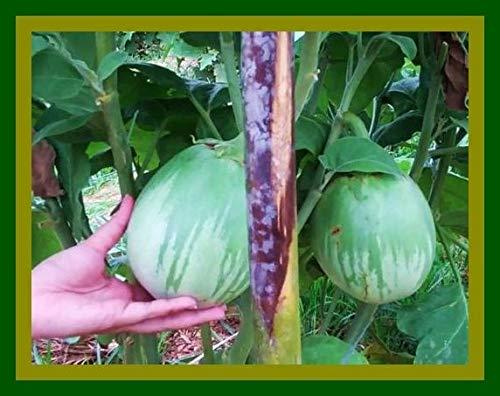 AGROBITS Onkel Chan * 20 Samen Riesen Roung Auberginen Thai Gemüse, Obst, Yummy Frische C413