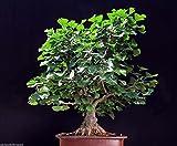 Gingko Biloba Semi antico albero Primitive conifera standard Bonsai o di un...