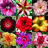Adenium obesum mixed colours - - 10 semillas