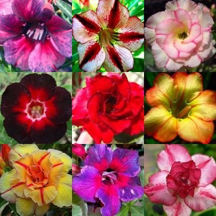 adenium-obesum-mixed-colours-desert-rose-mixed-colours-10-seeds