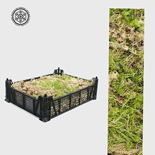 inter-flower-sphagnum-moos-1500-2000g-bleichmoos-torfmoose-laubmoosbryophyta-lebend-moos-sphagnaceae