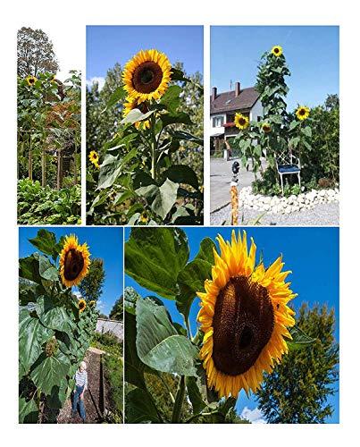 25x Riesen Sonnenblumen 5,2 Meter Giant King Kong sunflowers Samen #424