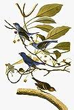 Audubon: Bunting. /Nindigo Bunting (Passerina Cyanea) After John James Audubon for His 'Birds of America ' 1827-38. Kunstdruck (60,96 x 91,44 cm)