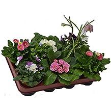Blumen-Box, Primeln Bellis Zwiebel Mix rosa2