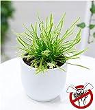 BALDUR-Garten Fleischfressende Pflanze'Sonnentau', 1 Pflanze Drosera...