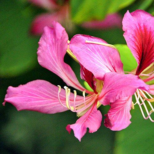 Bauhinia graines en vrac maison bonsaï arbre graines Redbud 100% graines réelle de fleurs de 50 particules / sac