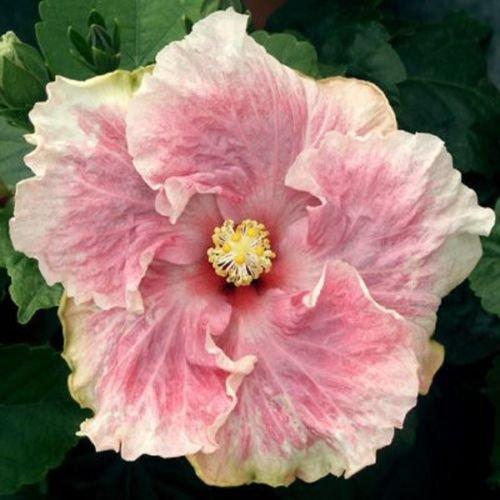 10 Seltener weißer Hibiscus rosa Samen Riesen Teller-Blumen-Garten Exotische Pflanze - Teller Pflanzen Hibiscus