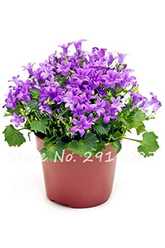 50 Pcs Campanula Graines rares Fleur Plante en pot Couleurs mélangées 95% Taux de bourgeonnement vivaces Plantes Bonsai Maison et Jardin 12