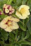 Hellebore Winter Jewels 'Golden Sunrise' Plant in a 17cm Pot. Lenten Rose