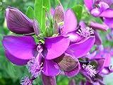 Portal Cool Settembre Bush - Polygala myrtifolia - 22 Semi - Fiori