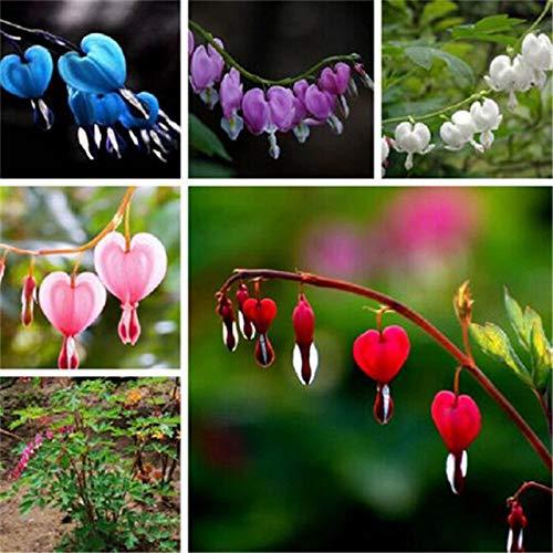 Portal Cool Lila: 10Pcs Perennial Spectabilis Kräuter blutendes Herz Pflanze Dicentra Blumensamen (Blutendes Herz)
