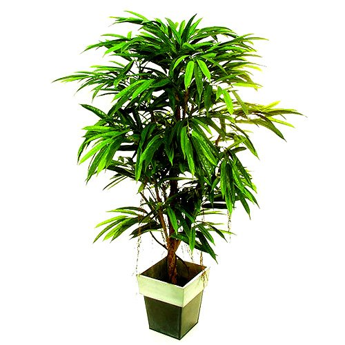 Euro Palms 82506345 Ficus Longifolia, 150 cm