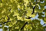 Ginkgobaum Ginkgo biloba Pflanze 60cm Ginko Rarität Baum des Jahrtausends selten
