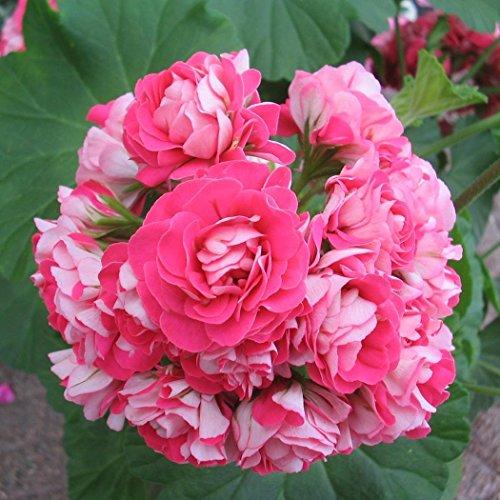 Ultrey Samenshop - 10 Stück seltene Geranie Samen Pelargonien mehrjährige Gartenblumen Samen Winterharte Pflanze Bonsai Topfpflanze für Garten Balkon/Terrasse