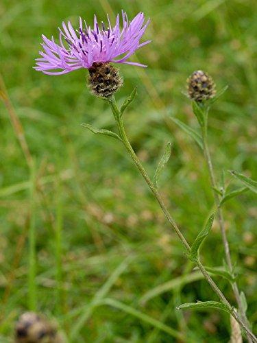 Gras & Wildblumenwiesen-Samen, geeignet für die meisten Bodentypen 80 Gramm. MeadowMania Heimischer Samen. bedecken bis zu 20 m² (Einheimischen Gräser)