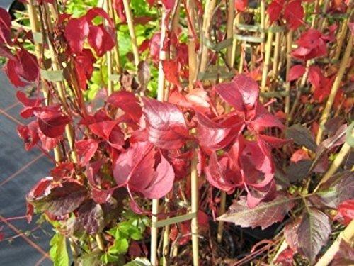 Wilder Wein - Jungfernrebe - Parthenocissus Quinquefolia - Kletterpflanze, sehr winterhart,...