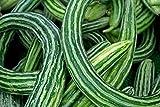 Plantree 250 Samen oder 1/4 Oz: Gurke, armenischer Hof, Schlangenmelone, Nicht-GVO, Sortengrößen, Burpless