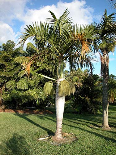 Portal Cool Spindel Palm - Hyophorbe Verschaffeltii - 10 frische Samen - Tropical Bottle Palm
