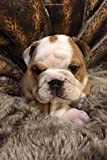 Cutest Baby English Bulldog Puppy Lined Journal