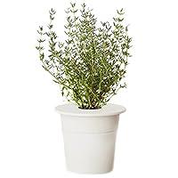 Cartuccia con semi di timo. Il timo è una pianta aromatica originaria dell'Europa occidentale e meridionale, trapiantata nell'Europa orientale e meridionale.Il timo viene utilizzato come erba aromatica in cucina e come pianta medicinale, nelle tisan...