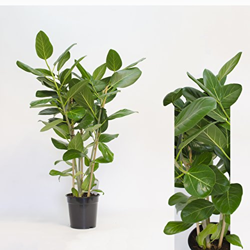 Inter Flowers -Ficus bengh. Audrey 100cm +/- hoch,Banyan-Feige,Banyanbaum, Bengalische Feige Zimmerpflanze