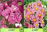 Pinkdose Blumensamen: Blühende Pflanzen Samen für Blumentöpfe Combo Statica, Dahlia-Bambino Blumensamen Pack By