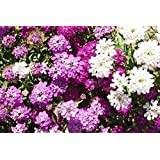 Semi di crisantemo di agosto viola Balcone in vaso 30 pezzi Rainbow Mix preimpostare e vedere nelliarda del giardino .90/% Germinazione per piantare
