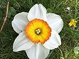 Edelnarzisse Flower Record, Narzisse großblumig weiß-orange - Osterglocke, aus eigener Gätnerei von Blumen Eber