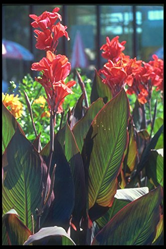 Canna Lily (133024 Canna Lily (Canna Hybride) A4 Photo Poster Print 10x8)
