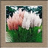 AGROBITS Grass Bonsais 100pcs Beeindruckend PINK Pampasgras Cortaderia Selloana Bonsais Gartendekoration DIY! : 5