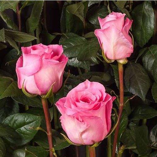 1-pianta-di-rosa-martina-in-vaso-19cm-meilland-cespugli-aiuole