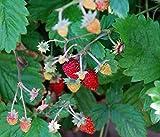 Alpine Strawberry plant 9cm pots FREE DELIVERY