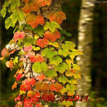 Galleria fotografica Vendita Vendita calda! 100pcs / bag rari Hedera helix cinese Seeds 20 varietà Bonsai Semi Garden Novel piante Anti-Radiation