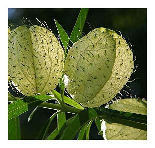 Gomphocarpus physocarpus - Ballon-Wolfsmilch - 10 Samen (Wolfsmilch Samen)