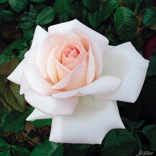 Edelrose Meilland Schloss Ippenburg in weiß-apricot-rose - Duftrose winterhart - Rosen-Blüte in weiß-apricot-rose - Rose stark duftend als wurzelnackte Rose in A-Qualität von Garten Schlüter - Pflanze