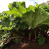Gemüsepflanze - Roter Rhabarber/Rheum rhabarbarum - Polygonaceae - 1 Pflanze im Container