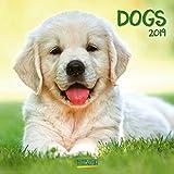 Dogs 2019: Broschürenkalender mit Ferienterminen. Hunde und Welpen. 30 x 30 cm