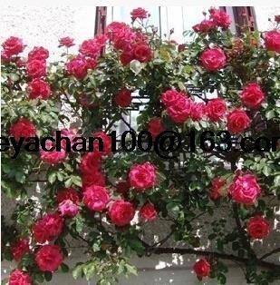 Rose rampicanti rosa rampicante vaso da giardino 100 semi di fiori