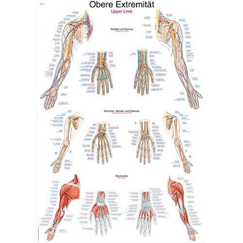 Erler Zimmer anatomische Lehrtafel, Obere Extremität, Lehrmittel, 50x70cm